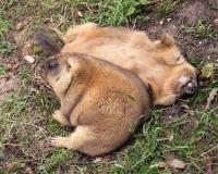 Сплю, Спал и буду спать: Сурки Московского зоопарка