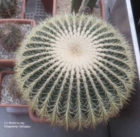 Уникальные кактусы «Аптекарского огорода»