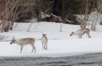 В Красноярском крае начат первый с 2014 года крупномасштабный авиаучет диких северных оленей таймыро-эвенкийской популяции