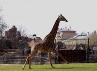 Жираф Липа вышел в уличный вольер