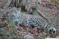 15 июля – День переднеазиатского леопарда