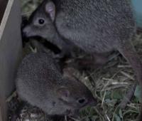 В Московском Зоопарке родился детеныш редчайшего кенгуру