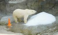 Москвичи смогут выбрать имя для спасенной белой медведицы